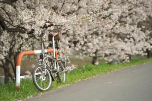 BROMPTONと桜