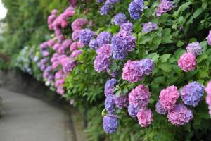 2011 飛鳥山公園 紫陽花