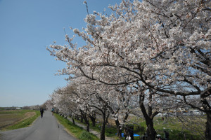 桜 2012