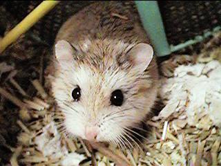 Criceto roborovsky piccoli mammiferi forum animali nel for Criceto morto